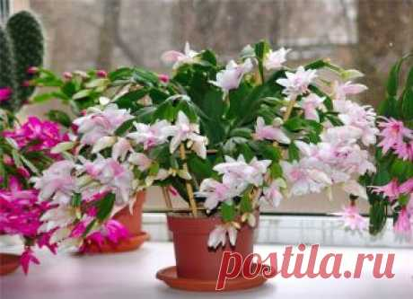 5 лучших подкормок декабриста для пышного цветения зимой   6 соток
