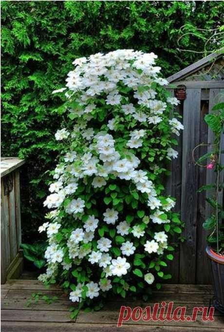 Увей меня нежно: Сажаем вьющиеся растения у забора, беседки и перголы...