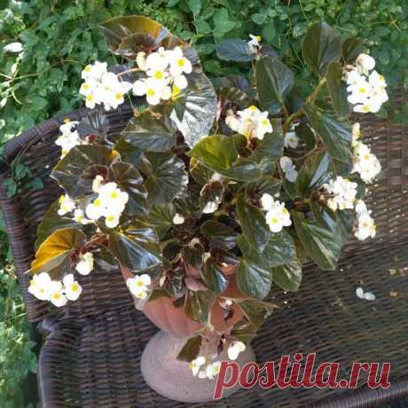 Бегония гибридная «Бэби Винг» (Baby Wing), расцветка 'White Bronze Leaf'.