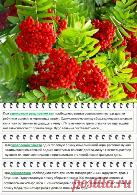 Рябина красная, полезные свойства и противопоказания