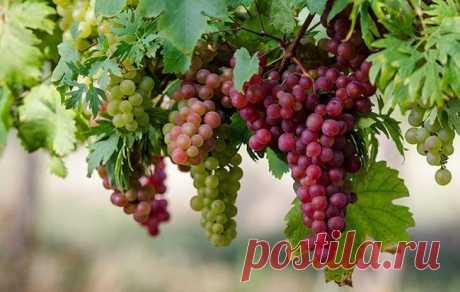 Чем обработать виноград в июле и августе от болезней. Важный уход за виноградом летом. | Красивый Дом и Сад