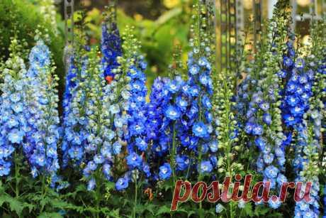 5 многолетников в цветниках: гортензия, астра, дельфиниум, посконник, ваточник