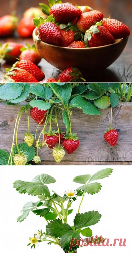 Уход за клубникой и ее обработка во время плодоношения
