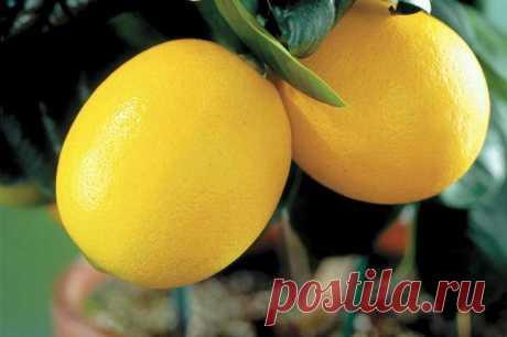 Выращиваем комнатный лимон: правила ухода в домашних условиях Описание растения и его виды Родиной комнатного лимона считается Индия, тропические широты Тихого океана и Поднебесная. Растение очень легко скрещивается, а его гибриды пользуются широкой популярность...