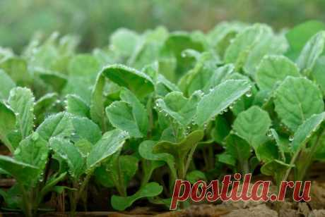 Where it is better to raise seedling of cabbage \ud83d\udea9 the Garden and a kitchen garden