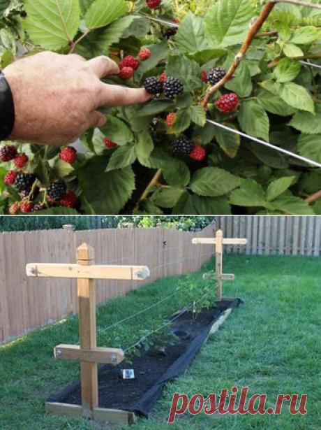 Посадка и уход за садовой ежевикой