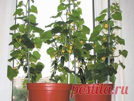 Огурцы на окне: 3 нюанса успешного выращивания | Obustroeno.Com