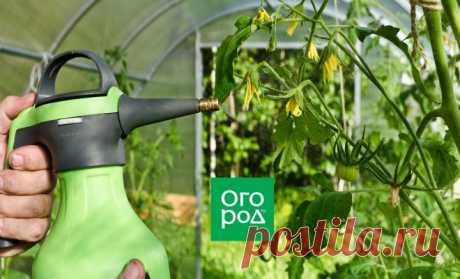 Чем опрыскать помидоры от фитофторы, если на них уже завязи и цветы | На грядке (Огород.ru)