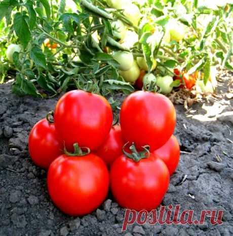 Обработка томатов сывороткой для хорошего урожая Можно время от времени обрабатывать помидоры кисломолочной сывороткой – продукт защищает растения от грибка, образуя на поверхности листьев тонкую пленку.