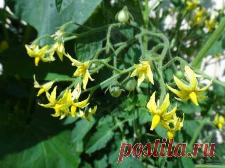 Томаты: чем подкормить во время цветения, лучшие подкормки для помидор