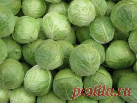 Капуста - польза и вред для организма мужчин и женщин, полезные свойства свежей капусты, показания и противопоказания к употреблению квашенной капусты и капустного рассола
