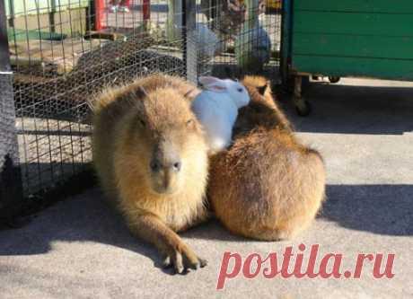 Капибары — самые дружелюбные животные