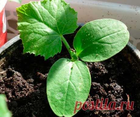 Когда и как сеять огурцы на рассаду - советы агронома
