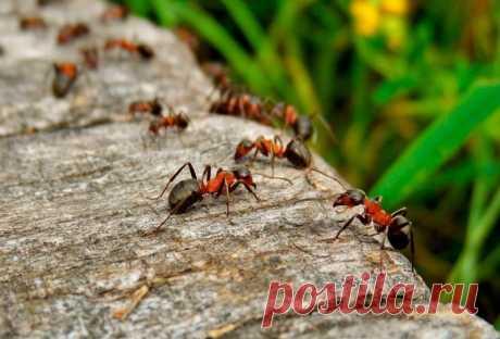 Приманка, которая быстро избавит ваш участок от муравьёв Как с помощью простой приманки раз и навсегда избавиться от надоедливых муравьёв на участке.