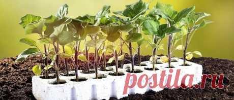 Когда сажать баклажаны на рассаду в 2020 году: лунный календарь когда сажать баклажаны на рассаду в 2020 году по лунному календарю. Как правильно посадить и ухаживать за рассадой синеньких. Пикировка и болезни растения.
