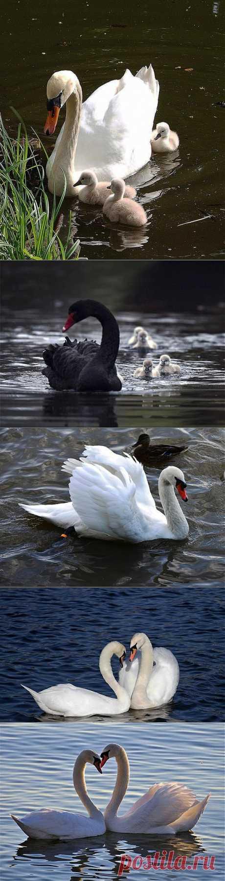 Лебеди....
