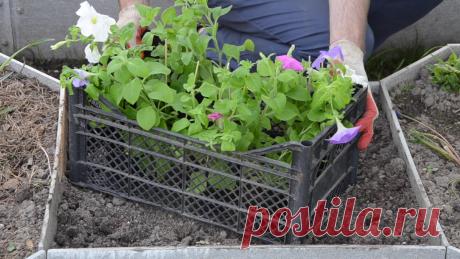 Высаживаем петунию на клумбу и в садовые горшки правильно. Видео — Ботаничка.ru