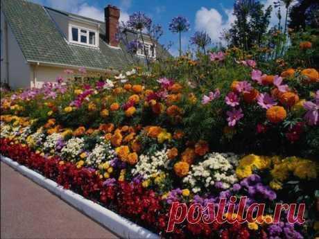 Цветы однолетники неприхотливые цветущие все