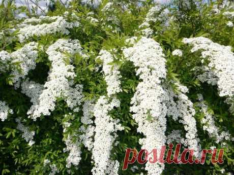 Популярные виды и сорта спиреи для вашего сада