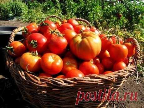 НА СУХАРЯХ МОИ ПОМИДОРЫ РАСТУТ КАК СУМАСШЕДШИЕ Сохрани шпаргалку, поделись с одноклассниками!   Хочу рассказать о том, как я простым способом смогла повысить урожайность своих помидоров.