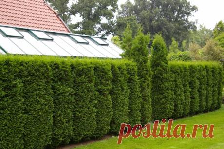 5 causas de la cultivación de la tuya en calidad de la cerca verde