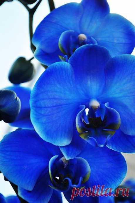 Синяя орхидея.