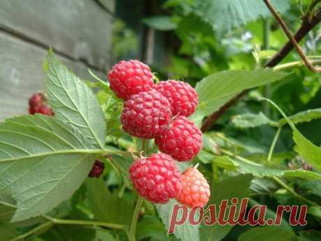 Когда собирать листья малины для чая :: Сад и огород :: Сад и огород
