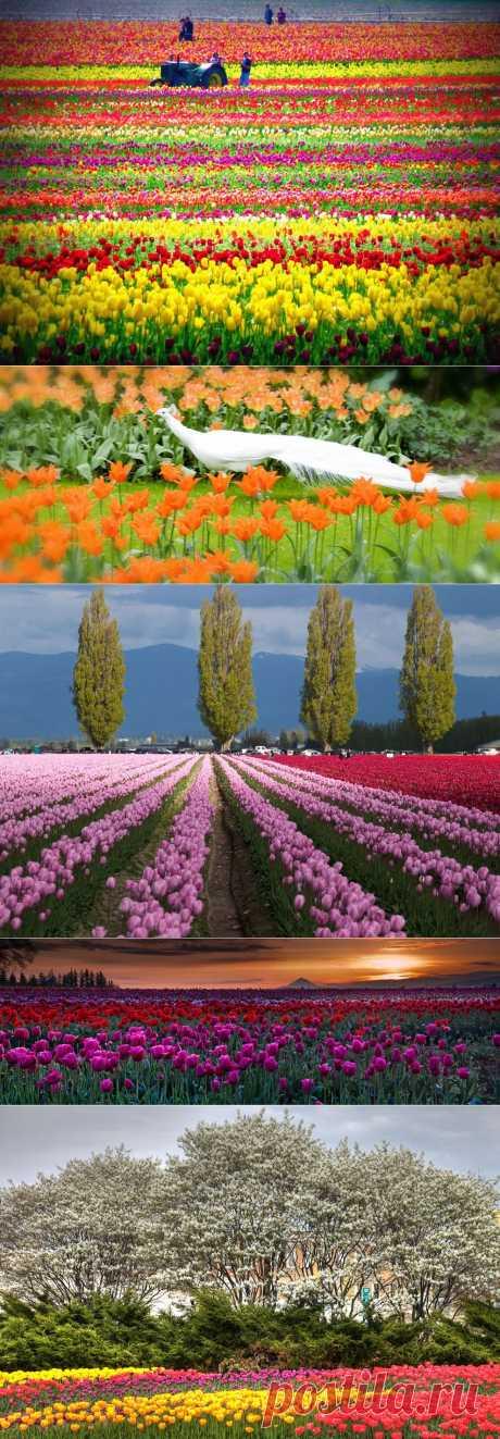 Тюльпаны - цветы весны | Фотостранник