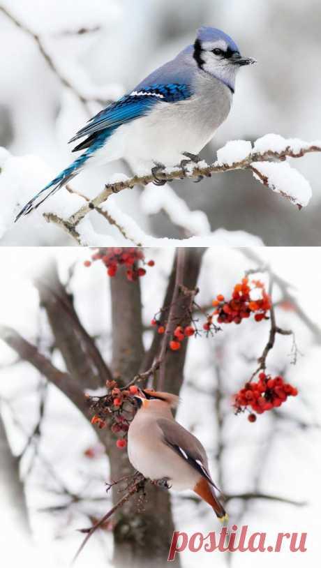 Птицы зимой - Фото.