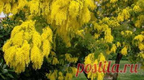 Дерево аралия маньчжурская: фото и описание растения, выращивание декоративного кустарника из семян