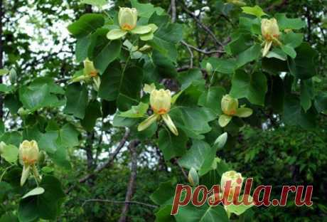 Любите необычные растения? Высадите на участке тюльпановое дерево! | Наталья Кудрявцева | Яндекс Дзен