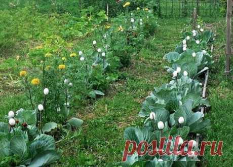 Полезные советы по выращиванию капусты.