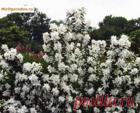 Чубушник горностаевая мантия: особенности сорта