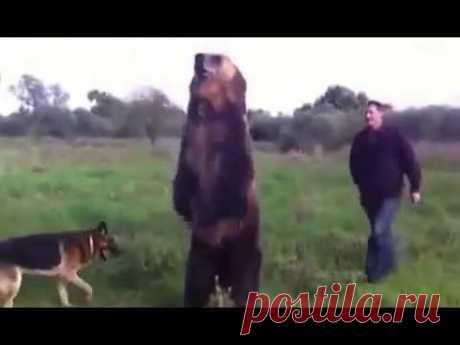 Бесстрашный русский играет с медведем