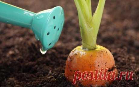 Народный метод подкормки моркови и свеклы дрожжами в июле поможет создать комфортные условия для роста