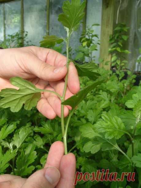 Черенкование хризантем: подробное описание и советы