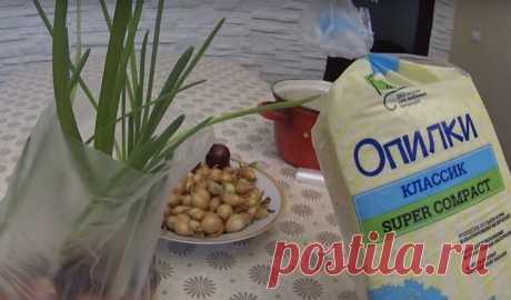 Выращиваем зеленый лук в пакете без земли
