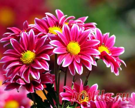 Уход за хризантемами в горшке. Когда цветут хризантемы и как их пересаживать после покупки из горшка