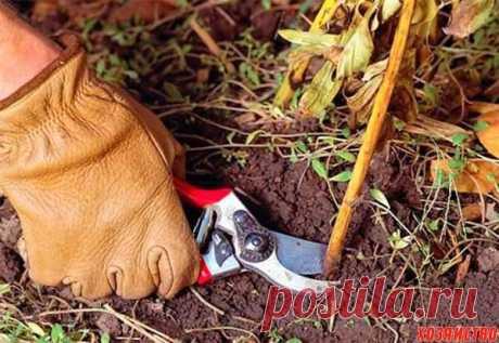 Не обрезайте осенью пионы