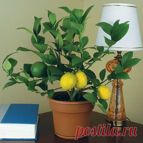 Как вырастить лимонное дерево из косточки.