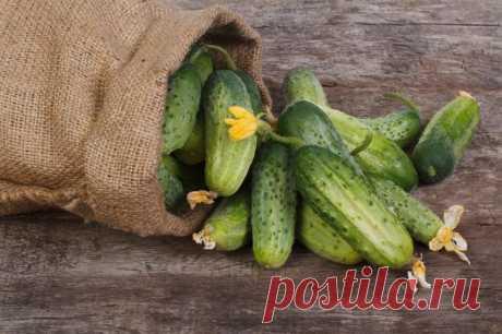 Лучшие сорта огурцов для всех видов почв и климатических условий  Огурец по праву считается одним из наиболее популярных овощей во всем мире. Его используют для приготовления различных блюд, напитков и даже в косметологии. Чтобы вырастить хороший урожай огурцов, не…