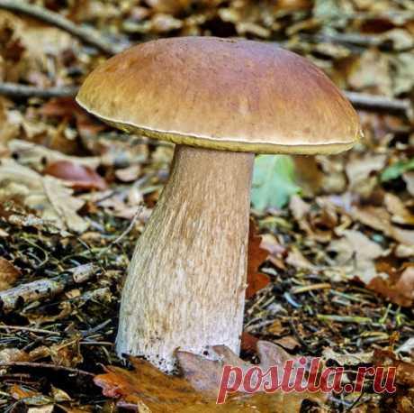 Как «приручить» Белый гриб