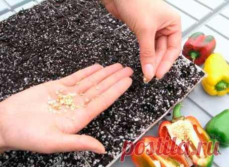 Подготовка семян перца к посеву на рассаду, пошаговая инструкция с фото