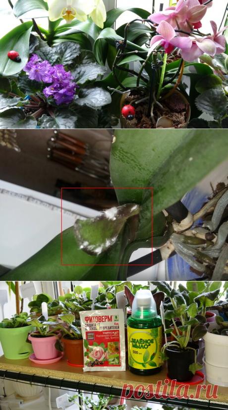 Мои Орхидеи и мучнистый червец, заражение и борьба с паразитом! Делюсь опытом первичной обработки | alla - Fi и Fiалочки | Яндекс Дзен В этой статье я расскажу Вам, как столкнулась с проблемой заражения моих орхидей мучнистым червецом, и как первично обрабатывала растения, чтобы избавиться от этого паразита.
