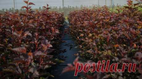 Питомник декоративных растений Елы-палы