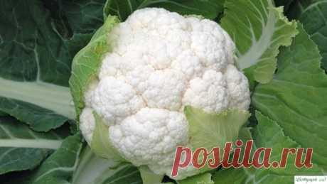 Все о выращивании цветной капусты: от посева семян до сбора урожая.