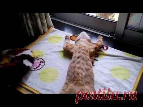 Как разблокировать кота? Наверняка многие не раз почёсывали кошачий животик и мечтали преодолеть несокрушимую оборону. Так вот, хозяину рыжего красавчика из ролика это действительно удалось!