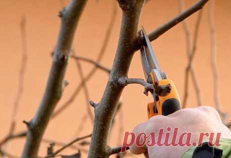 Осенняя обрезка груши, правильное формирование кроны