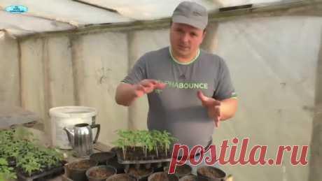 Как правильно пикировать томаты - все тонкости и нюансы!