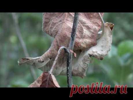 Сорта груши устойчивые к бактериальному ожогу - Справочник дачника